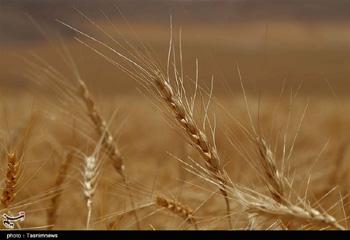 رکورد تولید گندم در اردبیل شکسته شد